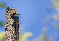 Adult Male Tree Swallow perched on dead tree at nest opening