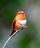 Adult male rufous hummingbird on twig