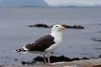Mantelmöwe, Mantel-Möwe, Möwe, Mantelmöve, Larus marinus, Great Black-backed Gull, Goéland marin