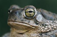 Texas Toad, Bufo speciosus, adult, Starr County, Rio Grande Valley, Texas, USA