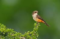 Vermillion Flycatcher (Pyrocephalus rubinus), female, Laredo, Webb County, South Texas, USA
