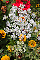 Ammi majus Graceland. Bishop's Flower, laceflower. Airy graceful white annual blooms, great for cutting, long-lasting as a cut flower.
