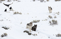Stories of wolves and ravens go back for centuries. I often saw these two species together near a kill site.