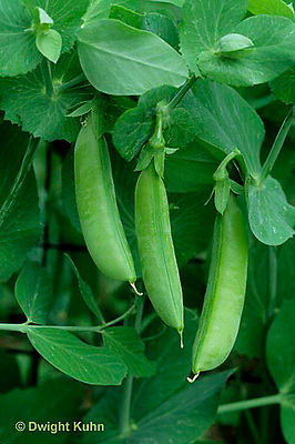 HS26-001x  Pea -  edible sugar pea pods - Sugar Bon variety