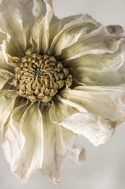 close-up of a dried yellow dahlia flower-- commercial/editorial licensing for this image is available through: http://www.gettyimages.com/detail/200250583-001/Stone