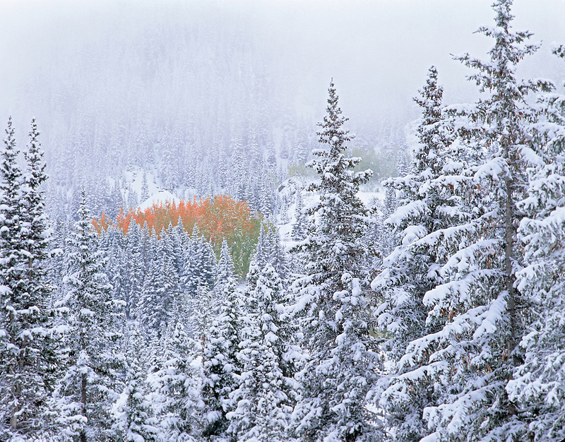 Snow and fall colored aspens in conifer forest. San Juan Mts. Uncompahgre National Forest, Colorado