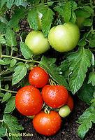 HS09-049b  Tomato - buffalo variety