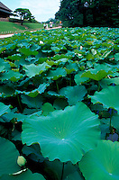 Close up of the leaves of a lotus plant in late summer in the Korakuen garden. Okayama, prefecture and city, Japan.