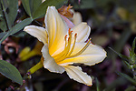Daylilly yellow color phase.