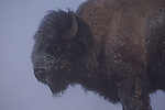 Portrait of snow-covered bison in fog in Yellowstone National Park, Wyoming.