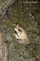 0201-0909  Cuban Treefrog at Night (Cuban Tree Frog), Osteopilus septentrionalis  © David Kuhn/Dwight Kuhn Photography.