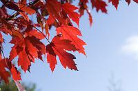 "Acer X Freemanii ""Autumn Blaze"""