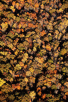 Brilliant red, orange, yellow and brown autumn leaves cover a forest of trees near Charlotte, NC. A summer with frequent rains, followed by fall with hot afternoons and cool nights gave leaf peepers a pallet of colorful fall foliage to enjoy in 2009.