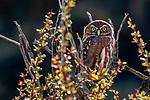 Ferruginous pygmy-owl, Torres del Paine National Park, Chile