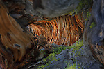 looking into an old weathered stump of a fallen bristlecone pine tree in montana