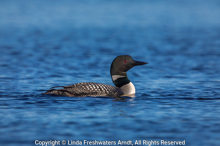 Common loon on Day Lake in northern Wisconsin.