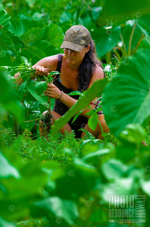 Woman tending taro plants in a lo'i (irrigated field for taro) in Hana, Maui