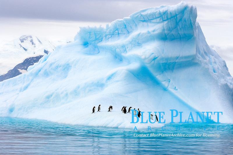 gentoo penguins (bird), Pygoscelis Papua, on an iceberg, western Antarctic Peninsula, Antarctica, Southern Ocean