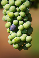 Grape bunches on the vine. Big bunches just before veraison (grapes taking colour), some grapes have already changed color from unripe green to ripe blue. Detail of the tip of the bunch. Vranac grape variety. Hercegovina Vino, Mostar. Federation Bosne i Hercegovine. Bosnia Herzegovina, Europe.