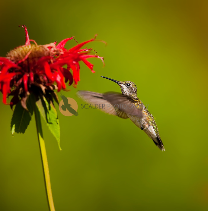 Ruby throated hummingbird hovering near red bee balm