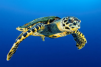 Hawksbill Sea Turtle, Eretmochelys imbricata, swimming in blue water at Isla de Malpelo, Malpelo Island, Columbia, Pacific Ocean