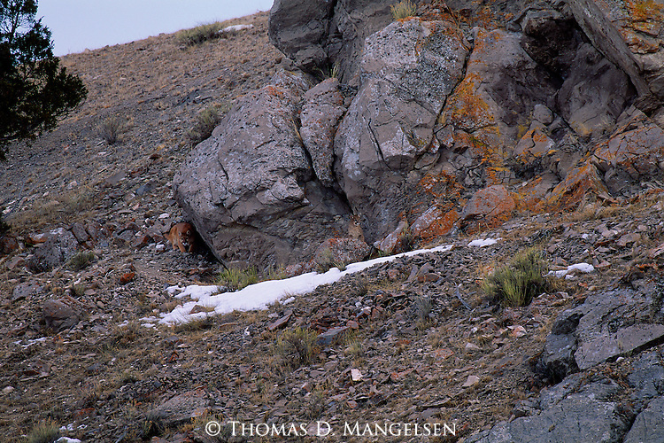 Traveling in a low, hesitant crouch, a female mountain lion assesses her route back to the den after a night of hunting.