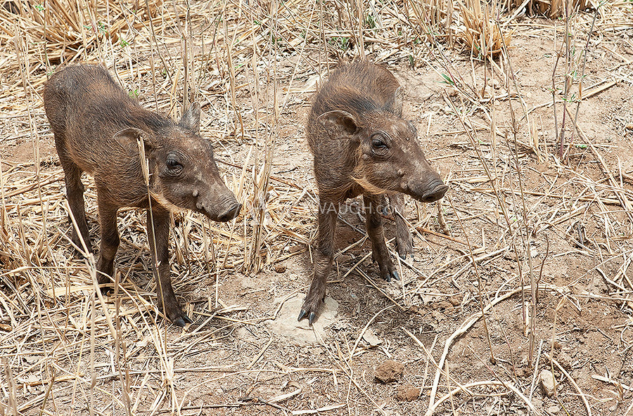 Yeah, wee warthoglets are pretty cute.