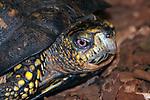 Eastern box turtle walking over dark mulch in garden medium shot of head and shoulders looking at camera.