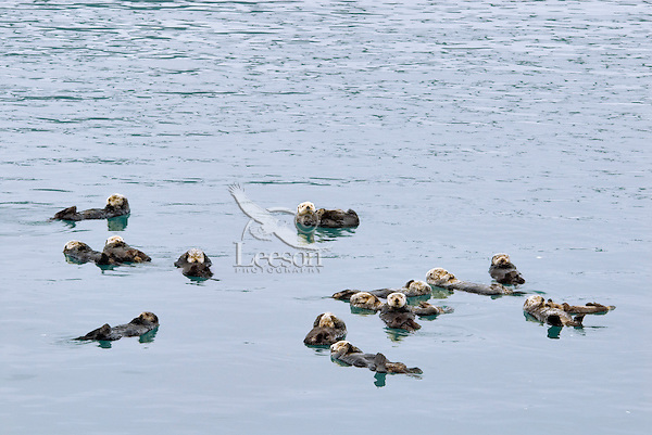 """Sea Otters (Enhydra lutris) resting in what is called a """"raft."""""""