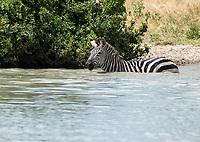 Grant's Zebra, Equus quagga boehmi, wades into a pond in Tarangire National Park, Tanzania
