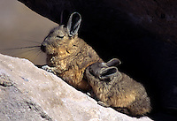 Mother VIZCACHA (Chinchilla relative) nurses her baby on the high altitude altiplano of LAUCA NATIONAL PARK, CHILE.