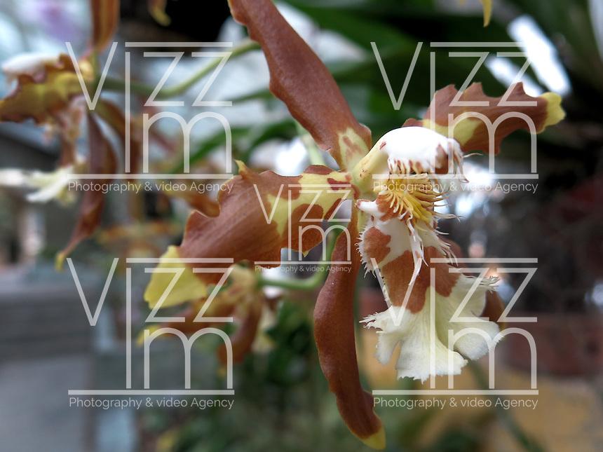 BOGOTÁ-COLOMBIA-15-01-2013. Orquídea Odontoglossum. Orchid Odontoglossum. (Photo:VizzorImage)