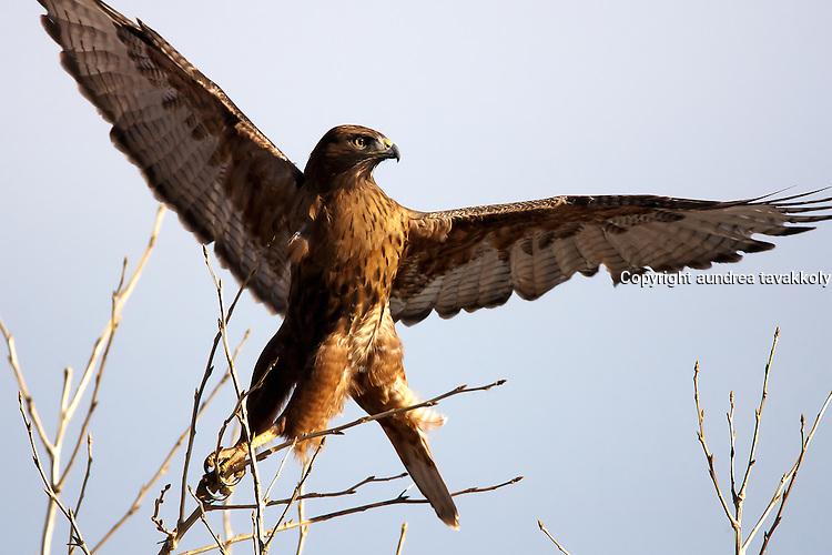 Red Tail Hawk taking off for flight, dark morph