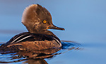 Juvenile hooded merganser swimming in a northern Wisconsin lake.