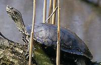 Balkan-Bachschildkröte, Kaspische Wasserschildkröte, beim Sonnenbad auf einem Ast, Emys orbicularis und Mauremys rivulata, Mauremys caspica,  European pond turtle, European pond terrapin and Caspian turtle