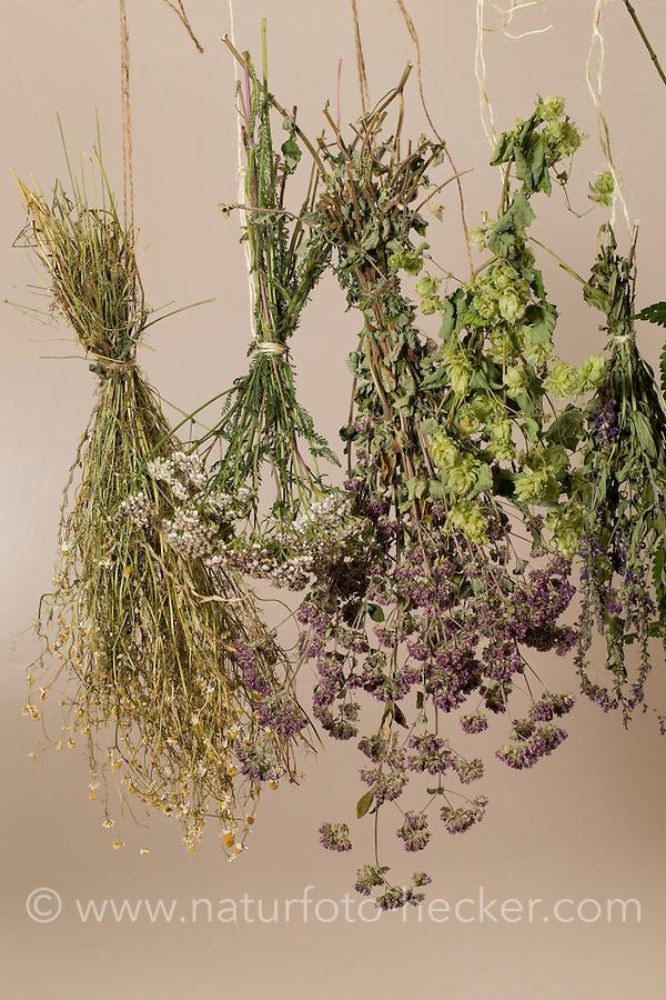 Kräuter trocknen, Kräuterstrauss, Kräuterstrauß, Trockenstrauss, Trockenstrauß, Wildkräuter zum Trocknen aufgehängt, Ernte, Kräuterernte, Kräuterkunde, bouquet of herbs, bunch of herbs, herbology. Blutweiderich, Blut-Weiderich, Lythrum salicaria, Purple Loosestrife, Spiked Loosestrife, Salicaire. Oregano, Oreganum, Wilder Dost, Echter Dost, Gemeiner Dost, Origanum vulgare, Oregano, Wild Marjoram. Schafgarbe, Wiesen-Schafgarbe, Schafgabe, Achillea millefolium, Common Yarrow. Echte Kamille, Matricaria recutita, Syn. Chamomilla recutita, Matricaria chamomilla, German Chamomile, wild chamomile, scented mayweed. Hopfen, Humulus lupulus, Common Hop.