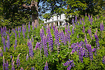 Lupines bloom in Blue Hill, ME, USA