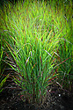 """Panicum virgatum 'Shenandoah', late September. """"Good blue foliage, but most notable for tones of violet and purple which the whole plant assumes during autumn and winter months"""" (Orchard Dene Nurseries)"""