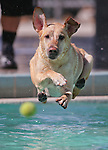 Blue plays ball at the annual Pooch Plunge at the Carson Aquatics Facility, in Carson City, Nev., on Saturday, Sept. 28, 2013. <br /> Photo by Cathleen Allison