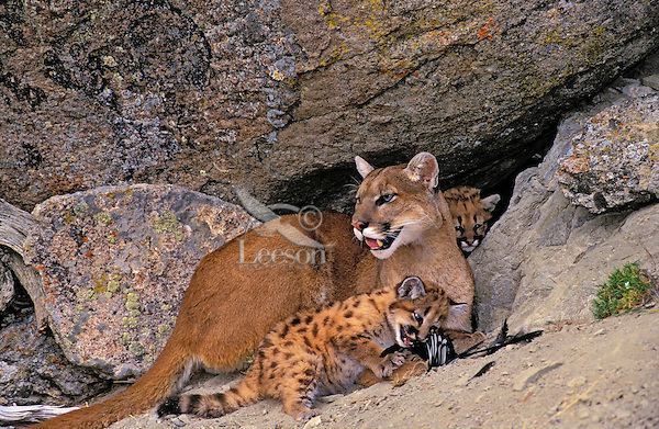 COUGAR/MOUNTAIN LION/PUMA. Mom cuddling with 5 week old youngstesr in rocky shelf.  Magpie feathers on ground. Summer. Rocky Mountains..(Felis concolor).