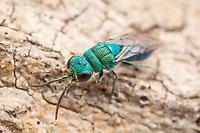 Cuckoo Wasp (Caenochrysis sp.)