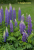 FB04-503z Lupine Flowers, Lupinus perennis