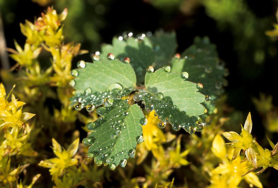 Kleine pimpernel (Sanguisorba minor)