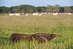 Adult giant anteater (Myrmecophaga tridactyla) walking across savannah with zebu cattle (Bos primigenius indicus) grazing in background. Near Unamas Private Reserve, Los Llanos, Colombia, South America.