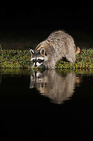 Northern Raccoon (Procyon lotor), adult at night drinking at pond, Dinero, Lake Corpus Christi, South Texas, USA