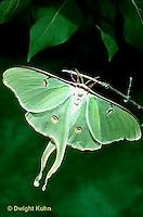 LE08-015z  Luna Moth - adult - Actias luna