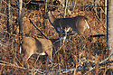 00274-308.18 White-tailed Deer Buck (DIGITAL) with spike antlers and doe are in aspen forest during fall.  Hunt, whitetail, prey.  H4E1