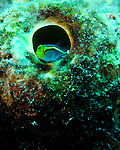 "Diving Bonaire, Netherland Antilles -- A small goby rests in the opening of a tube sponge.  (""Hilma Hooker"" dive site)."