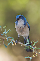 Western Scrub-Jay,  Aphelocoma californica, adult on Agarita (Berberis trifoliolata), Uvalde County, Hill Country, Texas, USA