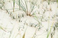 """Sand-Segge, Sandsegge, Segge, die """"Nähmaschine Gottes"""" verfestigt eine Weißdüne an der Küste, Düne, Carex arenaria, Sand Sedge"""